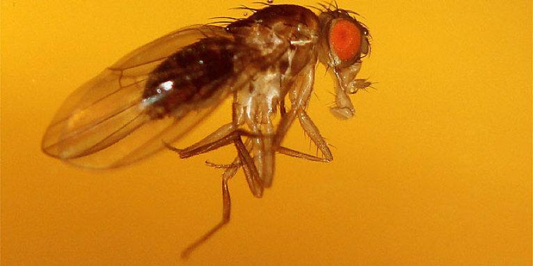 Fruchtfliegen Essigfalle