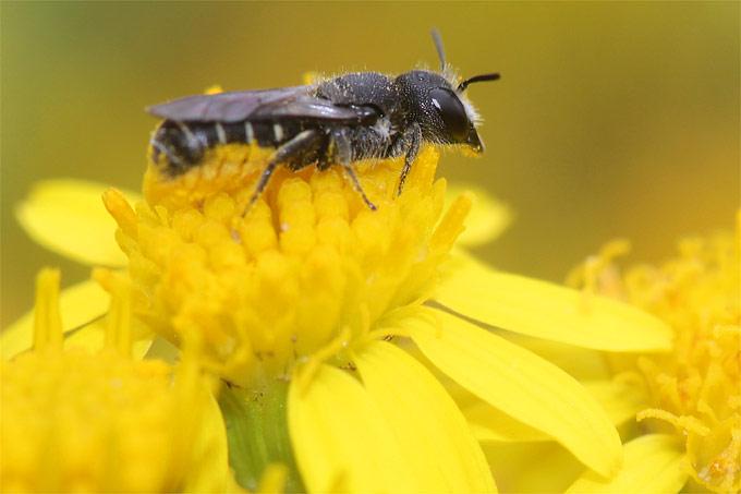 Wildbiene auf Jakobs-Greiskraut - Foto: Helge May