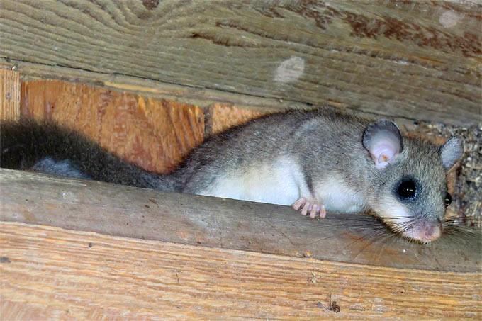 Siebenschlafer Auf Wohnraumsuche Nabu Bw