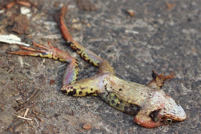 überfahrener Frosch