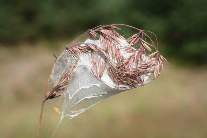 Ammen Dornfinger Nest