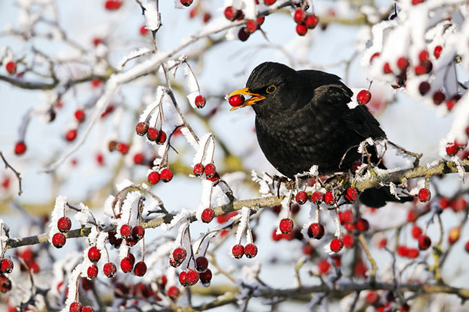 Amsel im Winter - Foto: Mike Lane/Fotolia