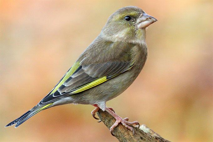 Der Bestand an Grünfinken nimmt zunehmend ab. - Foto: Frank Derer