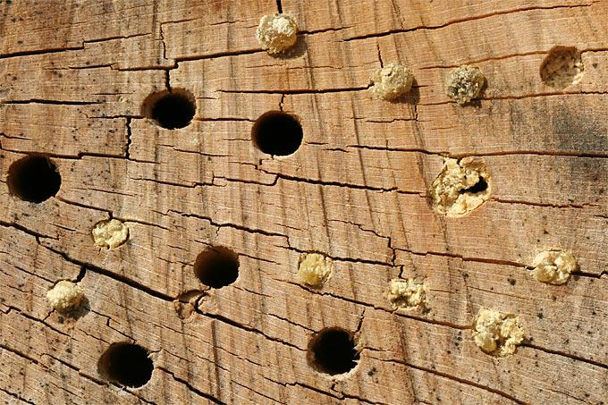 So sollte es nicht aussehen: Werden die Löcher nicht quer zu den Jahresringen gebohrt, bilden sich Risse. - Foto: Helge May