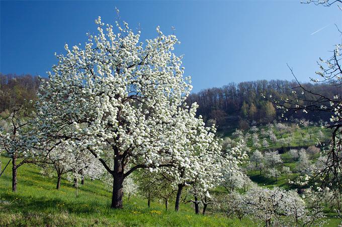 Beliebt Bevorzugt Baum pflanzen - NABU Baden-Württemberg &KJ_34