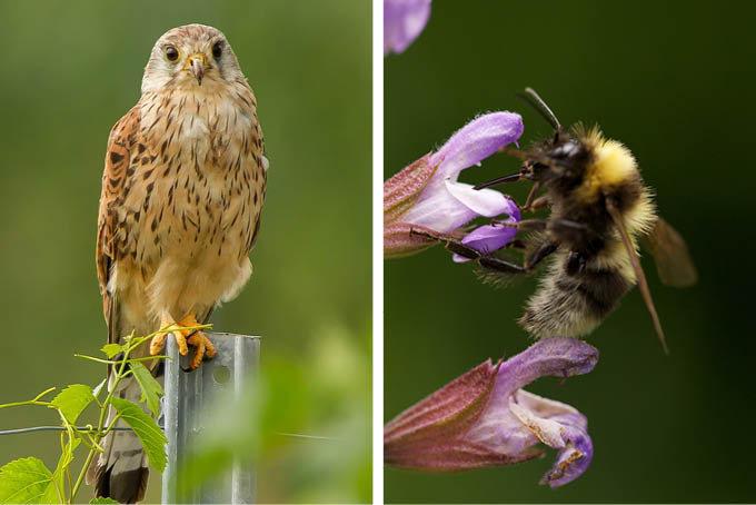 Werden Sie Pate/Patin für Greifvögel oder Wildbienen. - Foto: Marco Frank / Christoph Kasulke