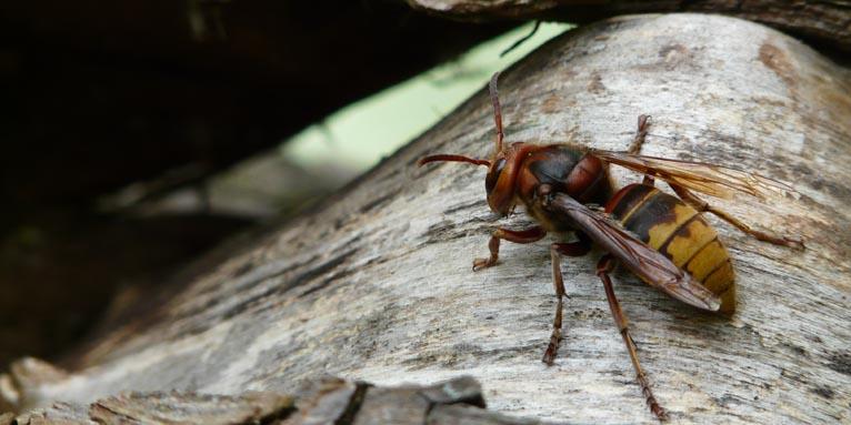 Blattschneiderbiene Gefährlich