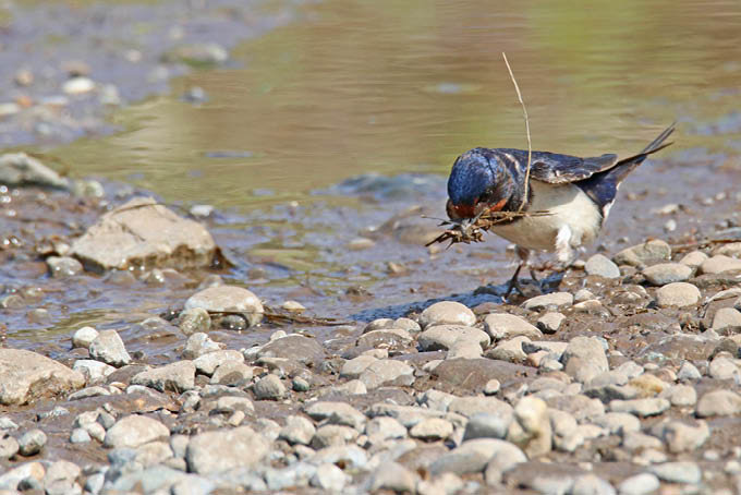 Nistmaterial und Insektennahrung findet die Rauchschwalbe oft auf Bauernhöfen - © Foto: NABU/Willi Mayer